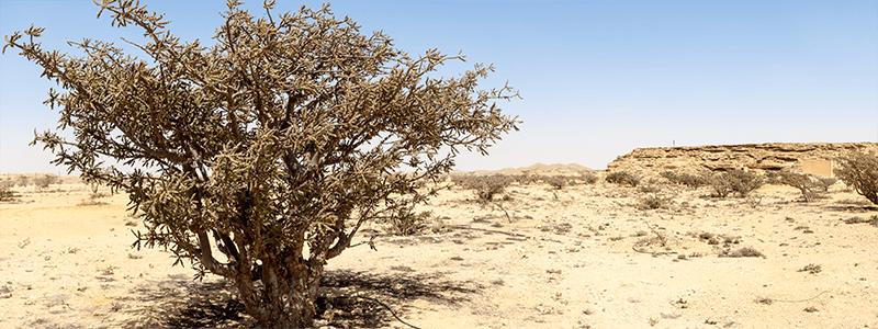 Weihrauchbaum – kostbare Pflanze aus karger Landschaft